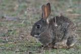 Rabbit, Peñalajo