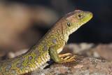 Ocellated Lizard,Peñalajo
