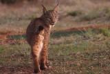Iberian Lynx, Peñalajo