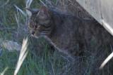 European Wildcat, Las Tablas de Daimiel