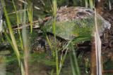 Spanish Pond Turtle, Las Tablas de Daimiel