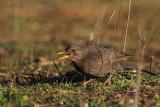 Blackbird, Peñalajo
