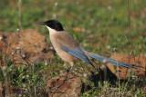 Azure-winged Magpie, Peñalajo