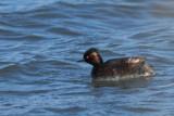Black-necked Grebe, Laguna de Navaseca, Daimiel