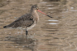 Black-tailed Godwit, Laguna de Navaseca, Daimiel