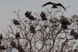 Black Kites, Laguna de Navaseca, Daimiel