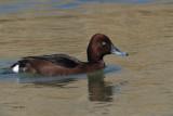 Ferruginous Duck, Parq Nacional de las Tablas de Daimiel
