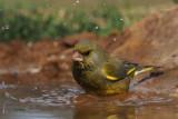 Greenfinch, Peñalajo