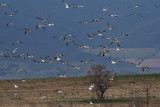 Gulls, Laguna de Navaseca, Daimiel