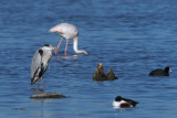 Grey Heron, Laguna de Navaseca, Daimiel
