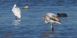 Greater Flamingo, Laguna de Navaseca, Daimiel
