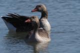 Greylag Goose, Laguna de Navaseca, Daimiel
