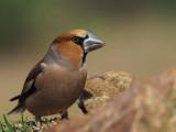 Hawfinch, Peñalajo