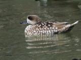 Marbled Duck, Parq Nacional de las Tablas de Daimiel