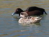 Marbled & Ferruginous Ducks, Parq Nacional de las Tablas de Daimiel