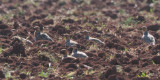 Pin-tailed Sandgrouse, near Campo de Criptana