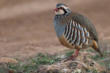 Red-legged Partridge, Peñalajo