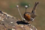 Robin, Peñalajo
