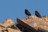 Spotless Starling, near Campo de Criptana