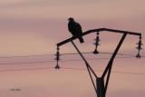 Spanish Imperial Eagle, Peñalajo