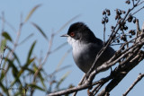 Sardinian Warbler, Peñalajo