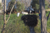 White Stork, Parq Nacional de las Tablas de Daimiel