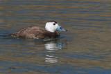 White-headed Duck, Parq Nacional de las Tablas de Daimiel