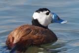 White-headed Duck, Laguna de Navaseca, Daimiel