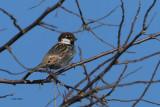 Spanish Sparrow, Laguna de Navaseca, Daimiel