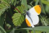 Orangetip, RSPB Loch Lomond, Clyde