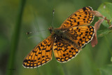 Small Pearl-bordered Fritillary, Burncrooks, Clyde