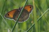 Meadow Brown, RSPB Loch Lomond