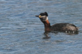 Red-necked Grebe, Hogganfield Loch, Glasgow