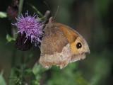 Meadow Brown, Loch Lomond NNR