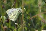 Green-veined White, Glen Douglas
