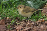 Chiffchaff, Quendale Quarry
