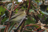 Chiffchaff, Quendale Mill