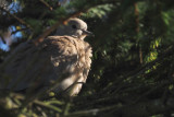 Collared Dove, Cauldhame by Scalloway