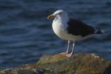 Great Black-backed Gull, Sumburgh Head