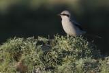 Great Grey Shrike, Grutness