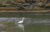 Great White Egret, Sandgarth Bay-Dales Voe