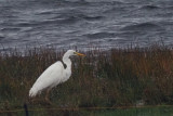 Great White Egret, Loch of Spiggie