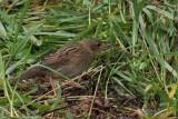 Lanceolated Warbler, Sumburgh Head