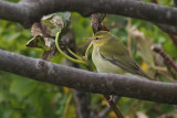 Tennessee Warbler, Burravoe-Yell