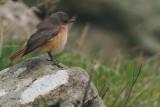 Redstart, Sumburgh Quarry