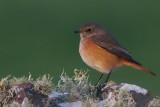 Redstart, Sumburgh Farm
