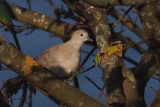 Turtle Dove, Cauldhame by Scalloway