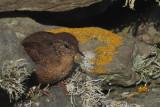 Wren, Sumburgh Head