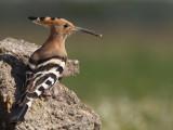 Hoopoe (Eurasian Hoopoe)