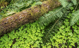 Ferns and Oxalis